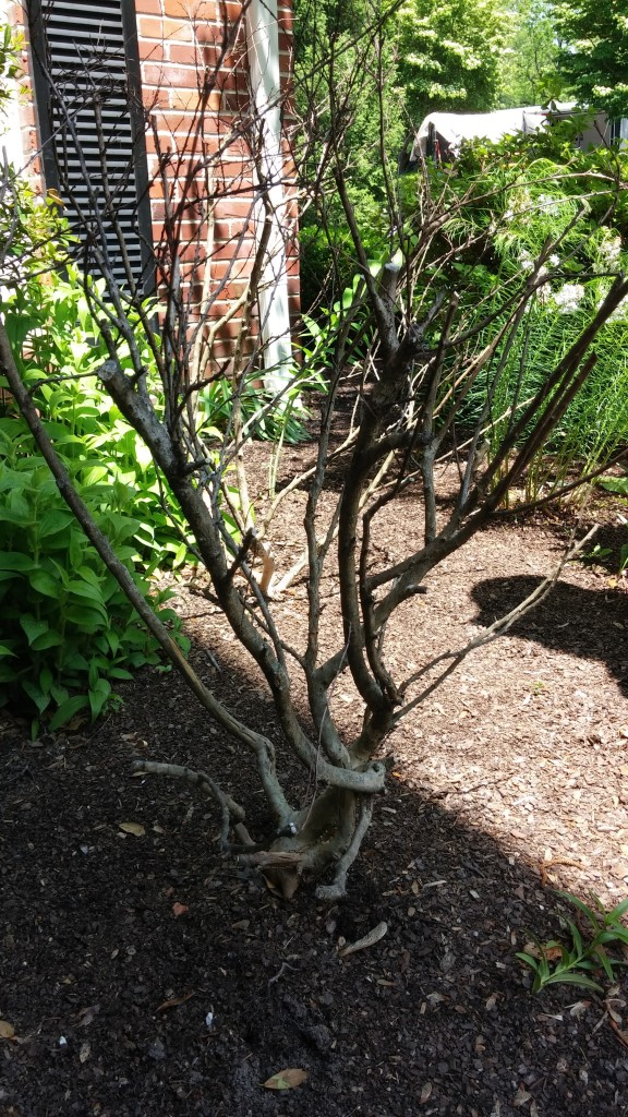 Crape Myrtles throughout Zone 5 & 6 were slow to come back this Spring after Winter's harsh temps.