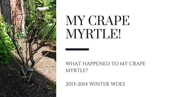 What Happened to My Crape Myrtle?!