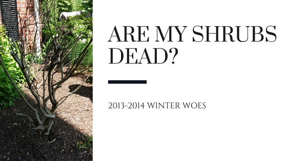 Are My Shrubs Dead? 2013-2014 Winter Woes!
