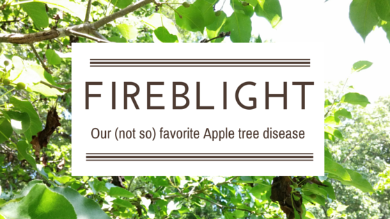 Fire blight – Our (not so) Favorite Apple Tree Disease
