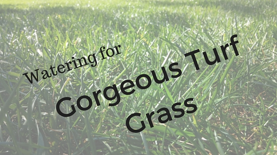 Watering for Gorgeous Turf Grass