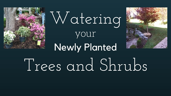 Watering your Newly Planted Tree or Shrub