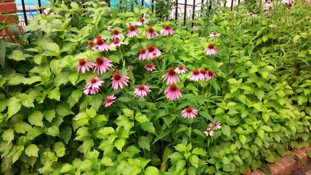 Echinacea purpurea in bloom