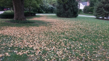 Over time fallen leaves can drift and build up, trapping moisture and blocking sunlight.