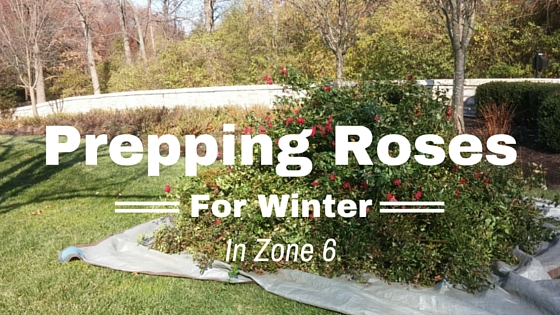 Prepping Roses for Winter in Zone 6
