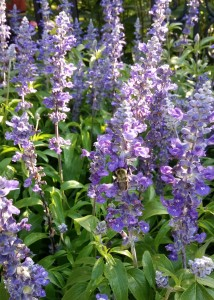 Bee foraging for nectar and pollen on the summer annual: Salvia Victoria Blue.