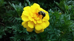 A bee foraging on Marigolds in a client garden.