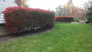 One Of Our Favorite Living Fences   This Row Of Mature Burning Bushes Puts  On A